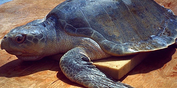 Demand the US Protect Sea Turtles from Shrimp Nets