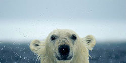 Ban Pesticide Deadly to Polar Bears NOW