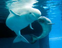 Stop the Mining Threat to Endangered Beluga Whales