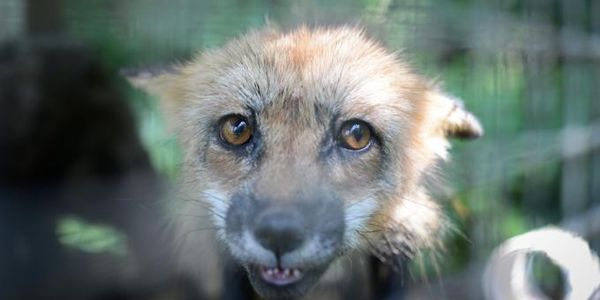 Animals Must Be Removed From Quebec Fur Farm Today!