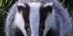 Do Not Extend The Badger Cull in 2014