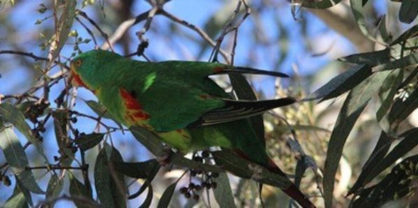 Swift parrot, Care2