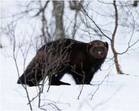 Wolverines Need Protection Now!