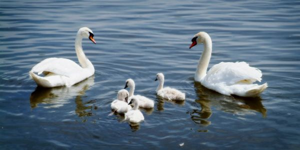 New York: Make Sure No More Mute Swans Are Senselessly Killed