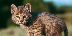 Stop the Slaughter of Bobcats in NYS