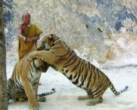 Tiger Temple Thailand Saviors Or Savages