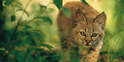 Urge the Utah Wildlife Board to Reverse Their Decision To Allow Unlimited Bobcat Hunting!