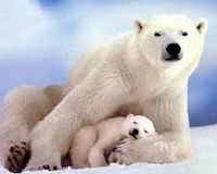 SAVE THE POLAR BEAR, ABOUT 200 LEFT AND THE POLAR ICE IS MELTING