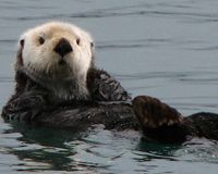 Stop the Sea Otter Slaughter