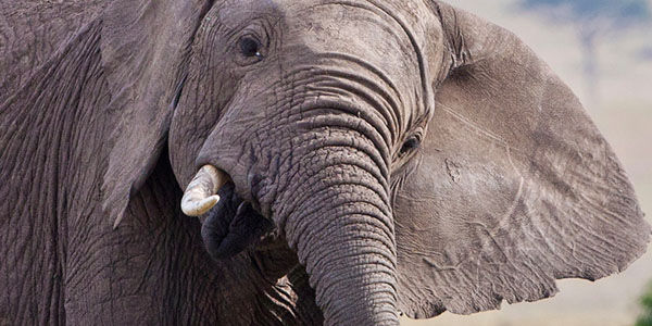 Demand Ringling Bros. Stops Breeding Elephants Into Captivity