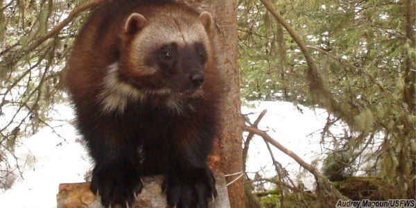 Save Wolverines and Our Climate