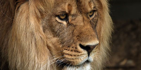 Help save the lions of West Africa from extinction