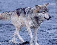 Tell Minnesota: Stop Wolf Killings for Sport