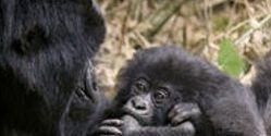 Save Endangered Mountain Gorillas in Virunga National Park