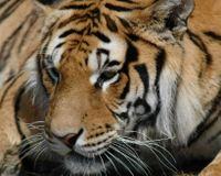 Tell China- Save the Siberian Tiger