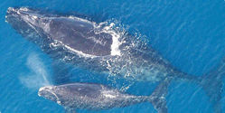 Obama: Don't Kill Whales for Oil