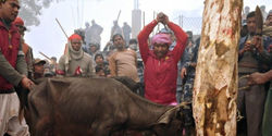 Stop the World's Largest Animal Sacrifice Ritual