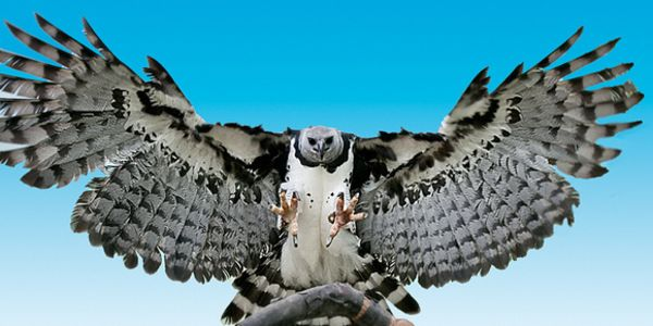 Rare Harpy Eagles RARE as 'unicorn' SAVE IT NOW or never see it again!