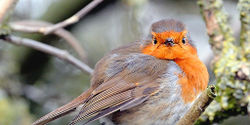 Stop Natural England from giving people the right to kill robins and destroy their nests and eggs