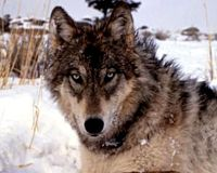 Tell President Obama: Keep Wolves Protected