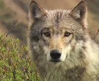 Halt Wolf Trapping near Denali Park