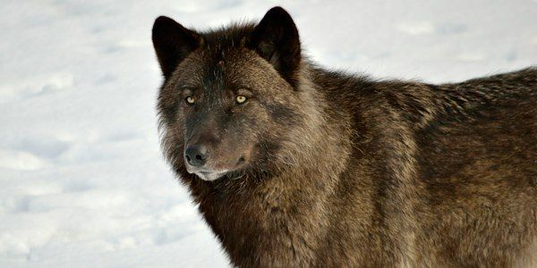 Save Wolves, Old-growth Forests and Our Climate
