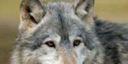 Save Wolf Mountain Sanctuary