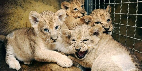Lion cubs in a cage