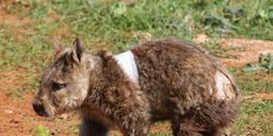 Save Our Southern Hairy-Nosed Wombats