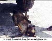 The barbaric way of catching stray dogs in Romania.We have hundreds of photos with these