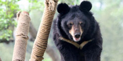 Thank Vietnam for Keeping Bear Sanctuary Opened