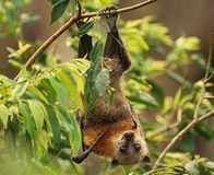 Restore the Ban on Shooting Flying-Foxes