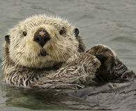 Vote NO to Sea Otter Fur Trade