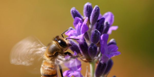 Health Canada, Protect the Bees and Reject New Insecticide!
