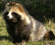 Stop the Skinning of Live Raccoon Dogs on Chinese Fur Farms