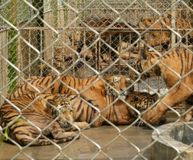 Demand a Permit to Breed Tigers
