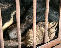 Stop Asian Bear Farming