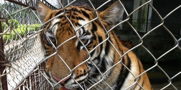 China; Stop Selling Tiger Skins and Promoting Tiger Farms!