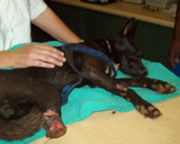 Justice for dog who's back legs were chopped off for