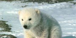 SAVE ME OR I WILL DIE! SNOWY THE POLAR BEAR