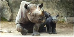 Save the Sumatran Rhino