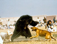 Stop the Barbaric and Medieval 'Sport' of Bear baiting in Pakistan