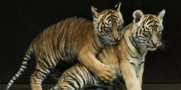 Asian Countries - Enforce Rules that Stops Exotic Animal Trade Like Woman Smuggling Tiger Cubs!