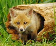 List Sierra Red Fox as Endangered