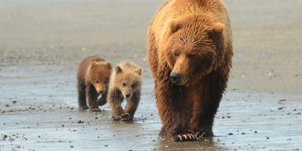 Give Kenai Brown Bears a True Refuge