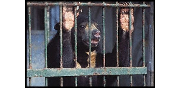 Save the Malayan Sun Bear from Extinction