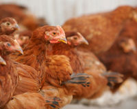 Get Justice for Nearly 50,000 Abandoned Hens