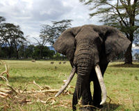 Permanently Ban the Sale of Ivory