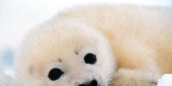 Help Stop Seal Clubbing/Hunting