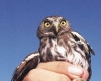 Save the Arizona Pygmy Owl!